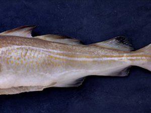 Fjelberg Fisk & Vilt. Torsk